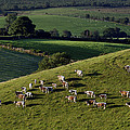 A Herd Of Cattle Graze On Rolling Green by Jim Richardson