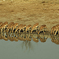 A Herd Of Impala Drinking At A Watering by Jason Edwards