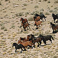 A Herd Of Wild Horses Gallops by Melissa Farlow