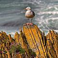 A Herring Gull, Colonsay, Scotland by Lizzie Shepherd