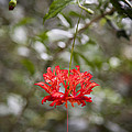 A Hibiscus Schizopetalus Flowers by Taylor S. Kennedy
