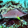A Hogfish Swimming Above A Coral Reef by Michael Wood