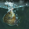 A Hooked Bluegill by Ted Kinsman
