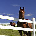 A Horse Peers Over A Fence by Robbie George