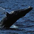 A Humpback Whale Breaching by Tim Laman