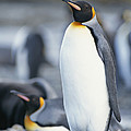 A King Penguin Stands On Pebbled Ground by Tom Murphy