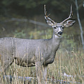 A Large Antlered White-tailed Deer by Melissa Farlow