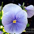 A Lavender Pansy by Eva Thomas