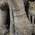 A Leopard And Cub Inside A Giant Baobab by Beverly Joubert