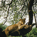 A Lion Panthera Leo Relaxes On A Tree by Skip Brown