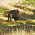 A Lone Bison In Yellowstone 9467 by Michael Peychich
