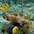 A Long-spined Porcupinefish, Key Largo by Terry Moore