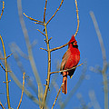 A Male Cardinal Sings In A Suburban by Joel Sartore