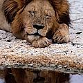 A Male Lion Panthera Leo Sleeps by Tim Laman