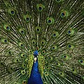 A Male Peacock Displays His Feathers by Joel Sartore