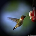 A Male Ruby-throated Hummingbird by Anthony Walker Sr
