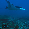 A Manta Ray Swims Through The South by Nick Norman