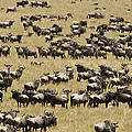 A Migrating Herd Of Wildebeests by Michael Poliza