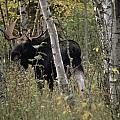 A Moose Alces Alces Americana With An by Annie Griffiths