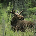 A Moose Stands In Tall Grass by Melissa Farlow