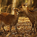 A Mother And Fawn Sika Deer by Raymond Gehman