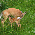 A Mother's Love - Doe And Fawn by Christine Till