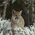 A Mountain Lion, Felis Concolor by Jim And Jamie Dutcher