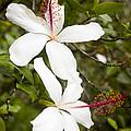 A Native Hawaiian Hibiscus Arnottianus by Taylor S. Kennedy