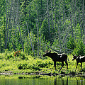 A Natural Salt Lick Lures Moose by Phil Schermeister