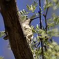 A Nesting Hummingbird by Saija  Lehtonen