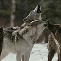 A Pack Of Gray Wolves, Canis Lupus by Jim And Jamie Dutcher