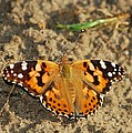 A Painted Lady Looking For Sex 8619 3369 by Michael Peychich