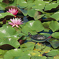 A Painted Turtle Rests On A Water Lily by George Grall