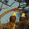 A Pair Of Bald Eagles Perch by Klaus Nigge
