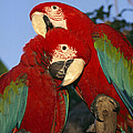 A Pair Of Captive Red-and-green Macaws by Richard Nowitz