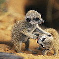 A Pair Of Four-week-old Meerkat Pups by Mattias Klum
