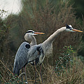 A Pair Of Great Blue Herons Stand by Klaus Nigge