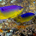A Pair Of Juvenile Cocoa Damselfish by Michael Wood