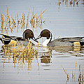 A Pair Of Northern Pintail Ducks  by Saija  Lehtonen