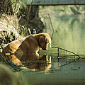 A Pet Dog Sits In The Shallow Water by Bill Curtsinger