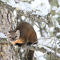 A Pine Marten Looks For Food by Drew Rush