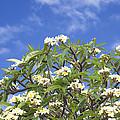 A Plumeria Caracasana Tree In Full by Taylor S. Kennedy