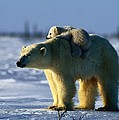 A Polar Bear Mother With Her Cub by Norbert Rosing
