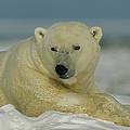 A Polar Bear, Ursus Maritimus, Lounges by Norbert Rosing