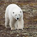 A Polar Bear Ursus Maritimus Walking by Keith Levit