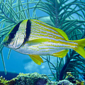 A Porkfish Swims By Sea Plumes by Terry Moore