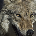 A Portrait Of A Gray Wolf by Michael S. Quinton