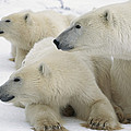 A Portrait Of A Polar Bear Mother by Norbert Rosing
