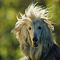 A Portrait Of An Afghan Hound by Joel Sartore