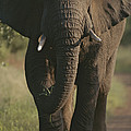 A Portrait Of An African Elephant by Tim Laman